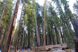 Pine-and-Sequoia-trees.jpg