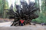 Mariposa-Giant-Sequoia-root.jpg