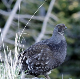 Blue-Grouse-1.jpg