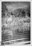 Watchful-Ibis.
