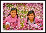 Straw-Wildflowers Western-Australia-Coloured. NFS