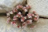 Vetkruid spec. (Sedum hispanicum)