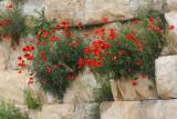 Klaprozen (Poppies)