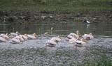 Limni Kerkini - White Pelicans