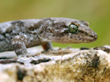 Mountain Gecko