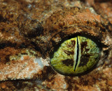 Northern Leaf Tailed Gecko Eye up Close