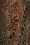 Northern Leaf Tailed Gecko - Saltuarius cornutus
