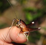 Long Horned Grasshopper - A Tasty Morsel?