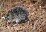 Long Haired Rat - Rattus villosissimus