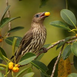 Female Fig Bird
