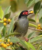 Male Fig Bird