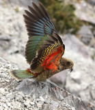 Kea Taking Wing