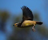 Spotted Pardalote Taking Wing