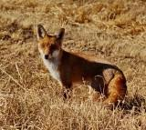 Mr Foxy