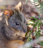 Small Wallaby Feeding on Bracken