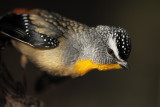 Spotted Pardalote - Male