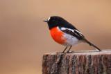 Scarlet Robin - Male