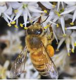 Honey Bee - Cabbage Tree Flower 2