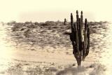 Baja Cactus