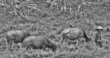 Vietnamese Water Buffalos