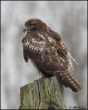 3993 Red-tailed Hawk imm.jpg