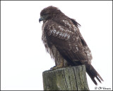 4004 Red-tailed Hawk imm.jpg