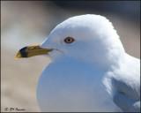 4209 Ring-billed Gull breeding profile.jpg