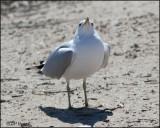 4220 Ring-billed Gull breeding.jpg