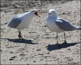 4221 Ring-billed Gulls.jpg