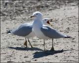 4222 Ring-billed Gulls.jpg