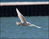 4246 Glaucous Gull imm.jpg