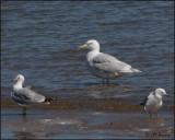 4269 Glaucous Gull adult.jpg