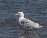 4270 Glaucous Gull adult.jpg