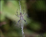 5745 Black and Yellow Argiope Spider.jpg