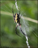 5752 Black and Yellow Argiope Spider.jpg