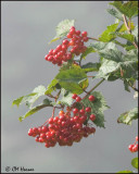 5770 Highbush Cranberry.jpg