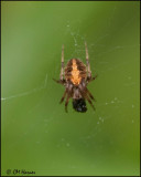 5773 Orb Weaver sp.jpg
