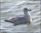 6398 Iceland Gull confirm id.jpg