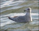6400 Iceland Gull confirm id.jpg