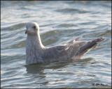 6402 Iceland Gull confirm id.jpg