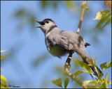 7161 Gray Catbird.jpg