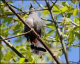 7158 Gray Catbird.jpg