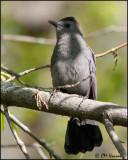 7184 Gray Catbird.jpg