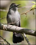 7186 Gray Catbird.jpg
