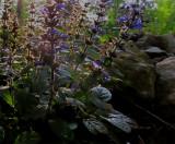 Sedum in the Rock Garden