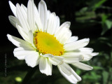 Shata Daisy Is Blooming!