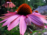 Hearty Cone Flowers.