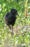 20110713 Purple  Gallinule Chick_ 6160