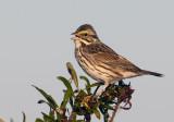 20120118 Savannah Sparrow  _3131.jpg