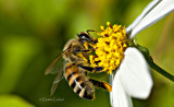 Day 5 March 24 Common European Honeybee on Blossom   _5429.jpg